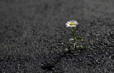 Daisy growing out of asphalt road