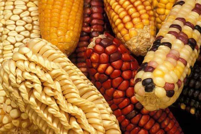 corn_diversity