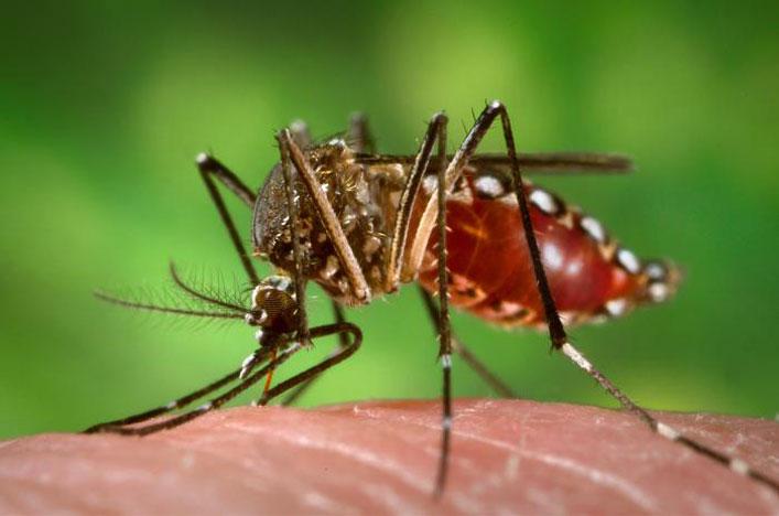 Aedes aegypti étkezés közben