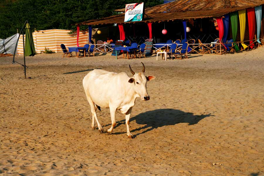 Cow-beach