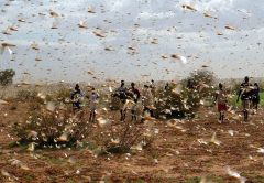 © FAO/Giampiero Diana A swarm of desert locusts fill the sky near a farm.