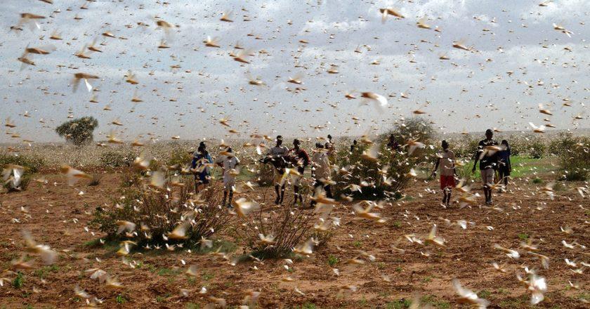 © FAO/Giampiero Diana A swarm of desert locusts fill the sky near a farm.
